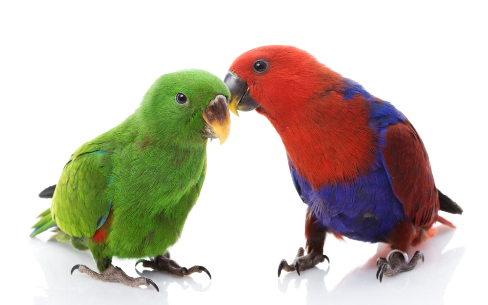 couple_parrots_love_male_female_white_background_78590_3840x2400.jpg