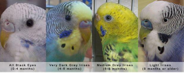 Wondering how old your little budgie is_2